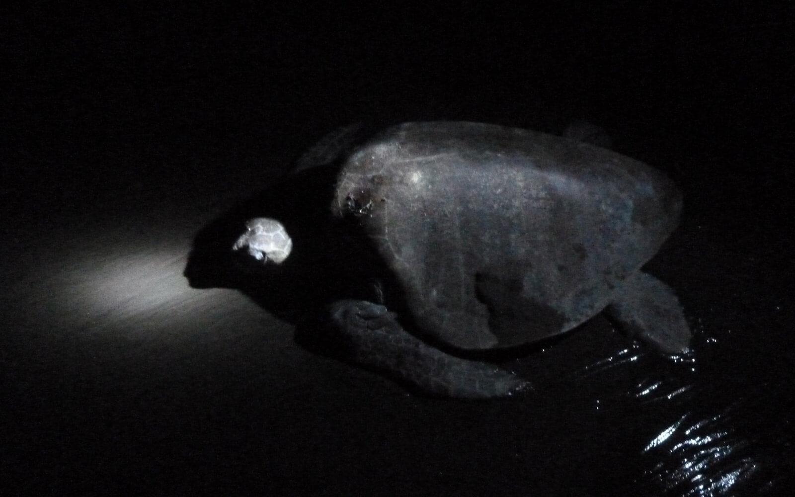 Schildkröten-Eiablage in Costa Rica