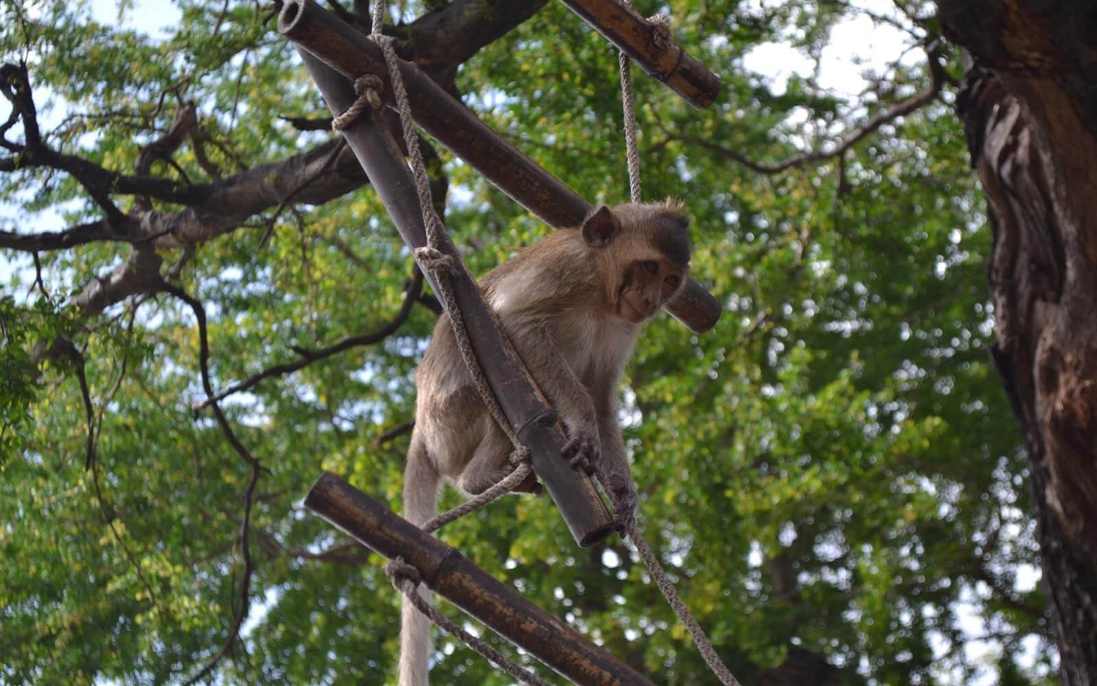 Affe im Affentempel in Lopburi, Thailand