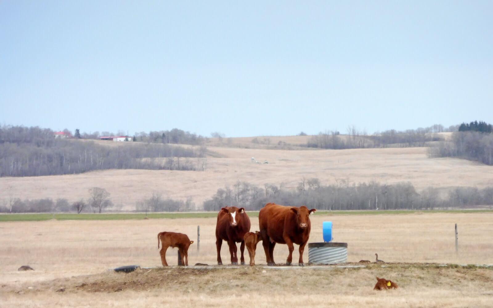 Kühe auf Weide in Alberta