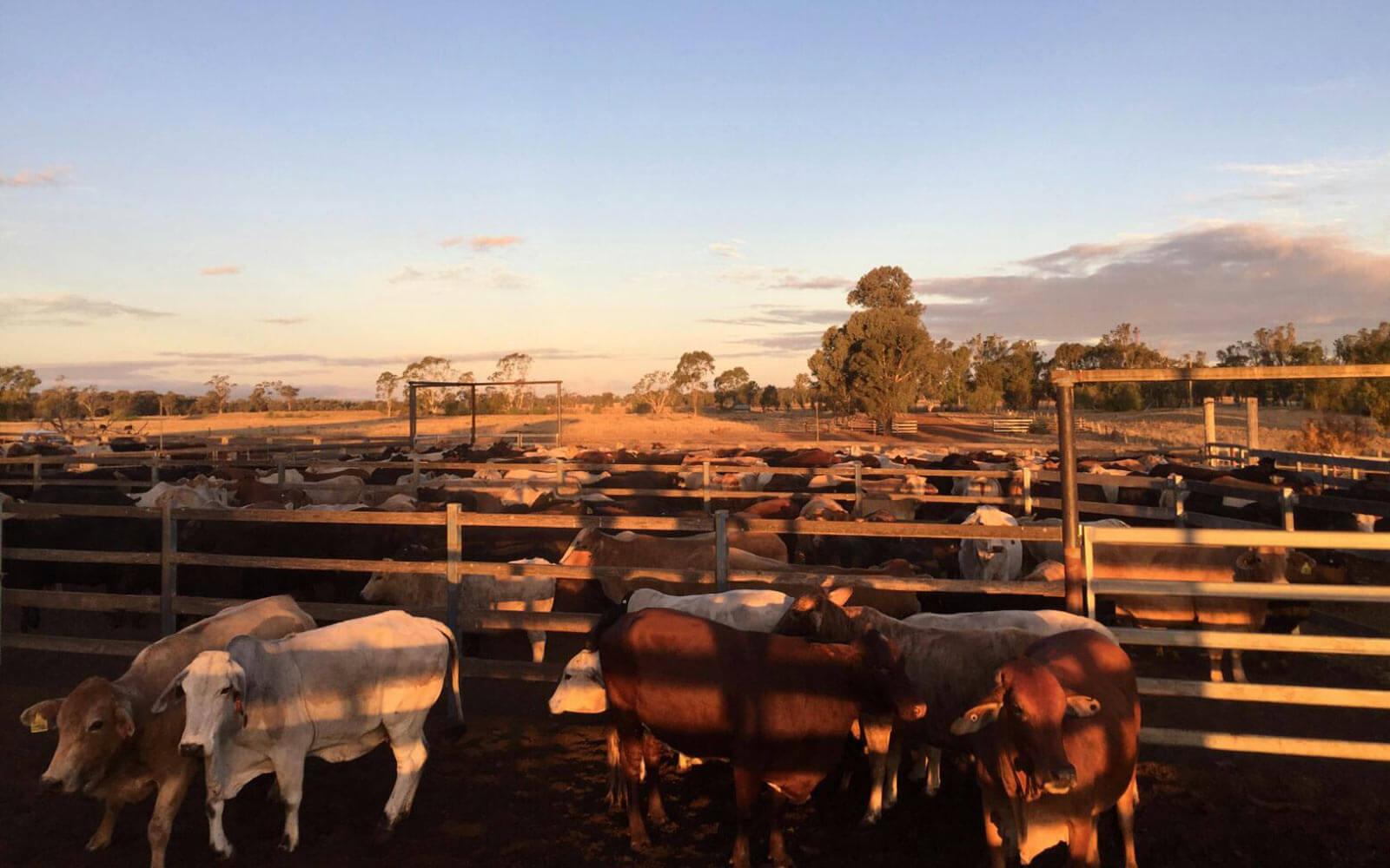 Rinder im Abendlicht auf der Trainingsfarm in Australien
