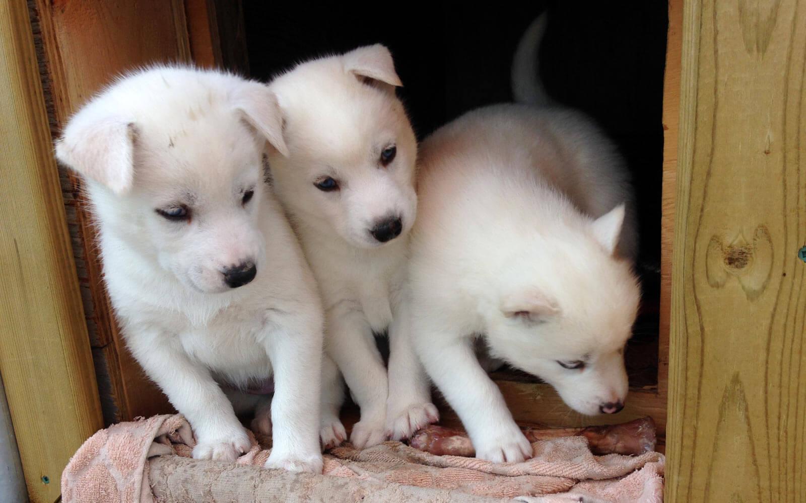 Weiße Baby Huskys