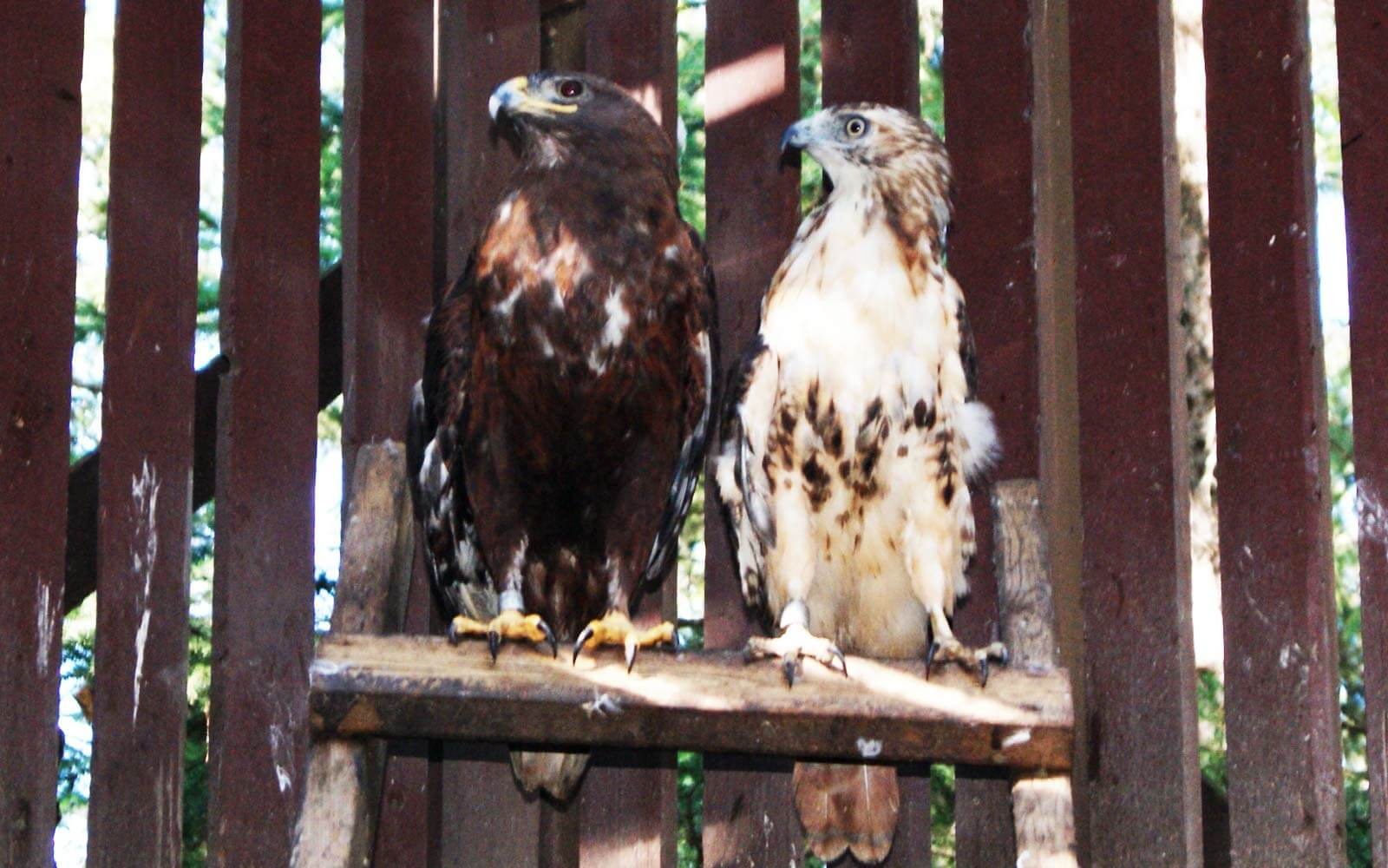 Zwei Greifvögel