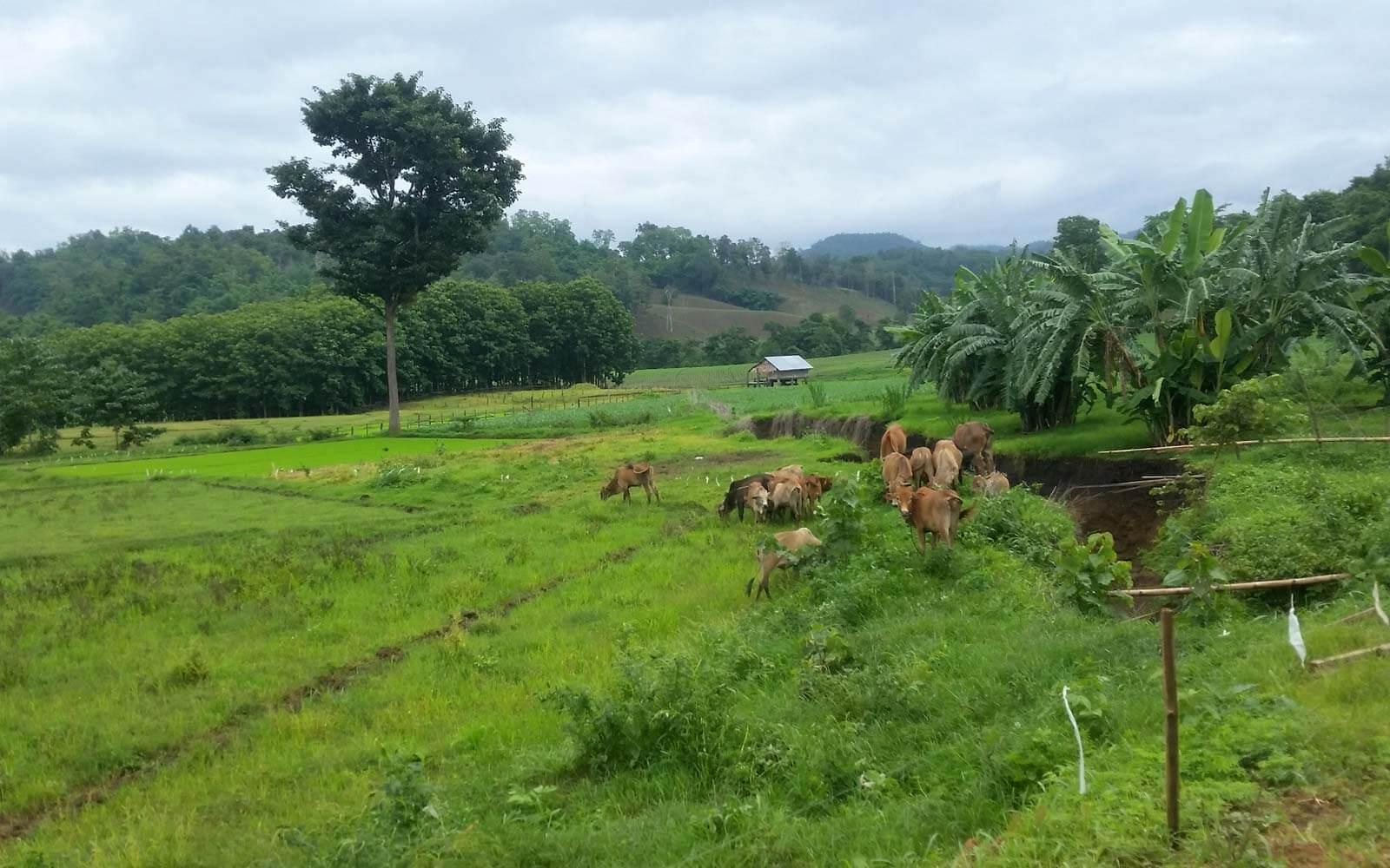 Feld mit Kühen bei Umphang in Thailand
