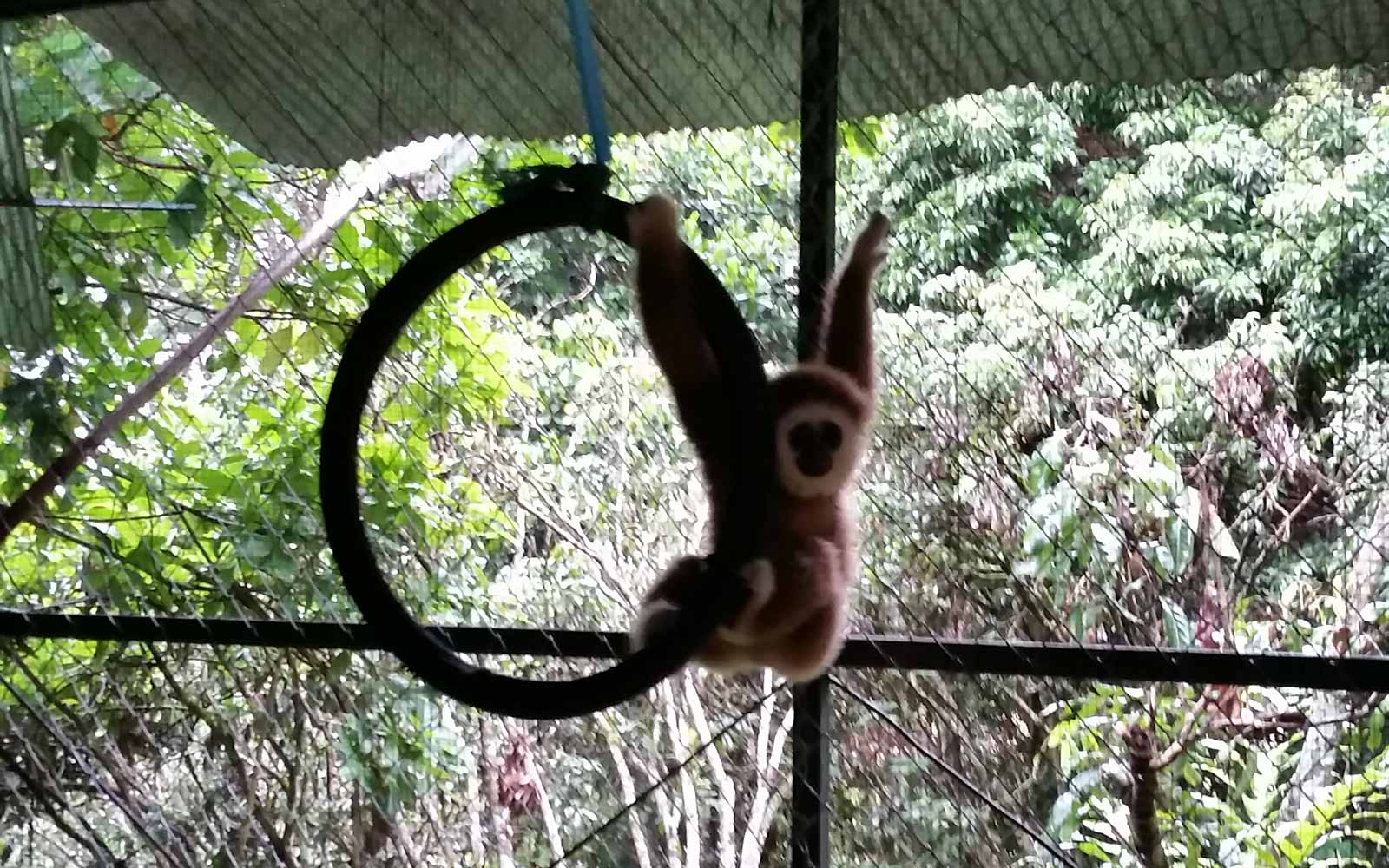 Gibbon beim Spielen in seinem Gehege