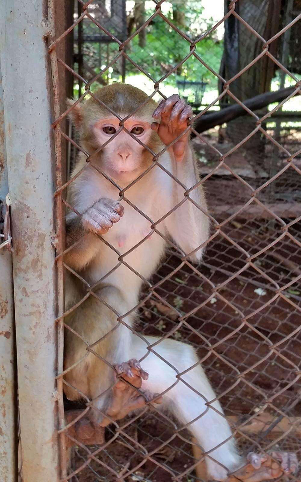Makake-Affe in Thailand