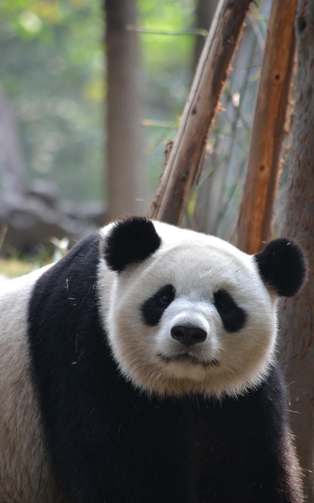 Panda-in-Chengdu