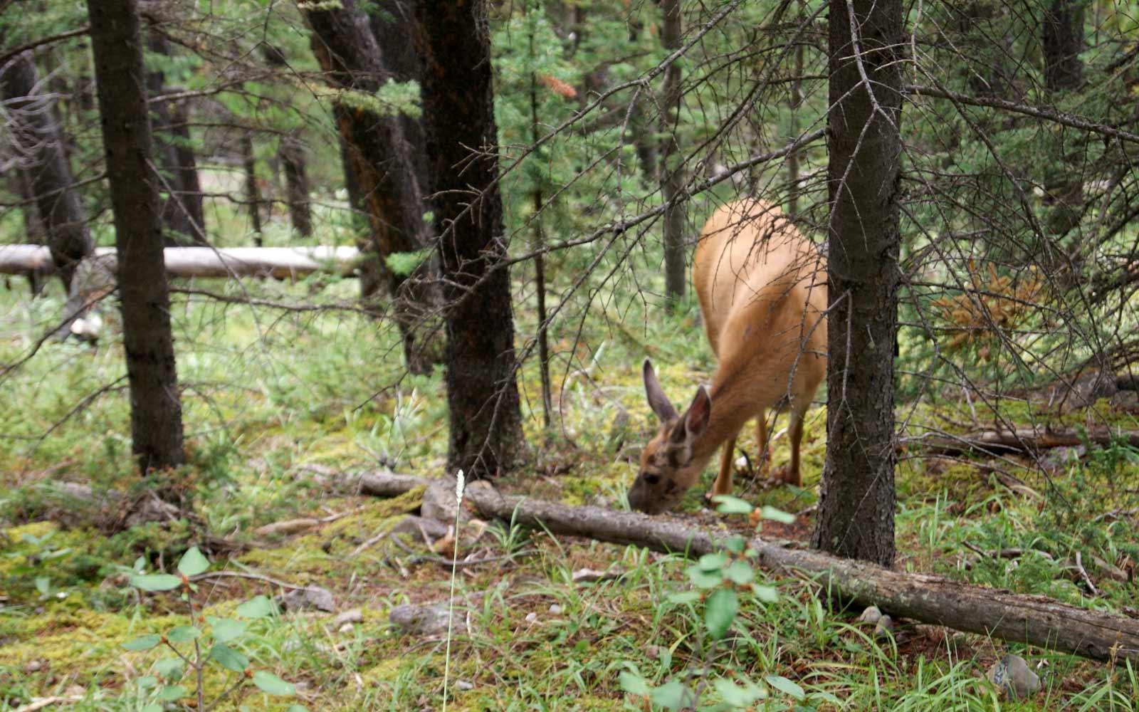 Reh grast im Wald entlang des Sulphur Mountain Trail in Kanada