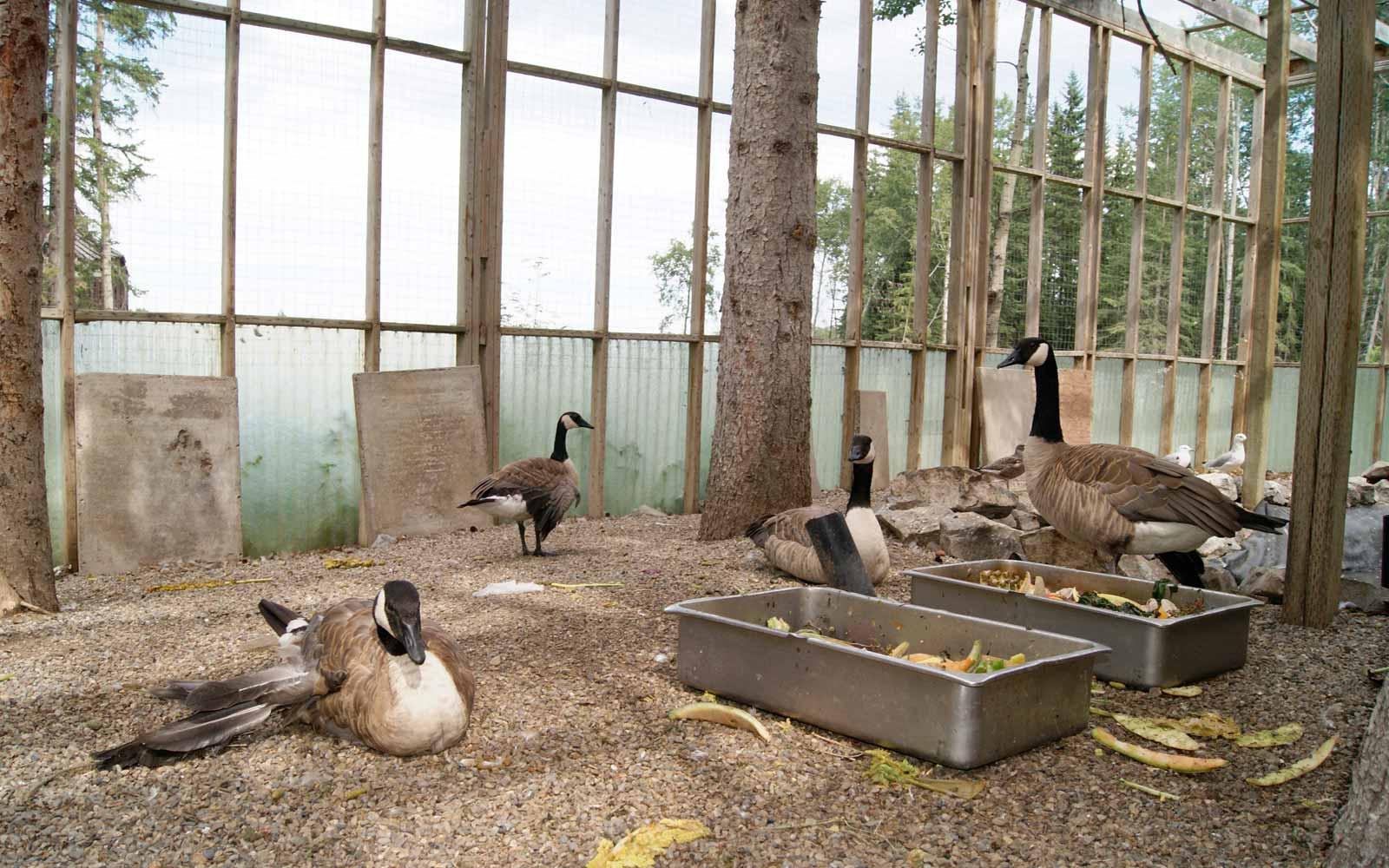 Gänse im Alberta Wildlife-Projekt
