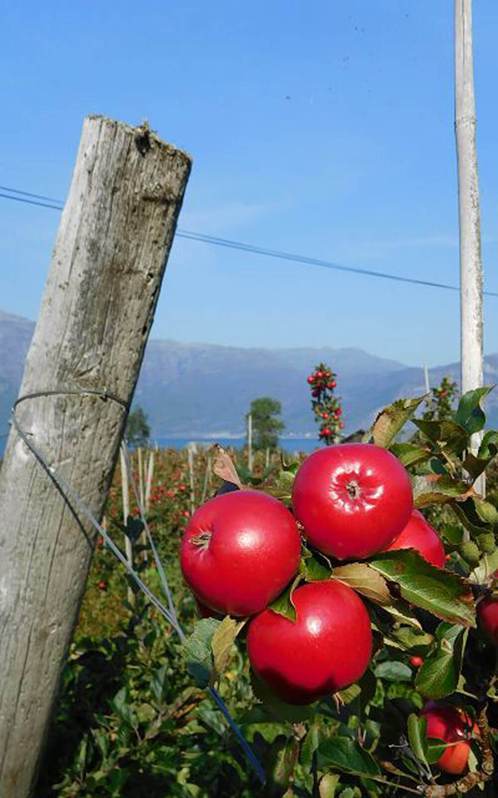 Apfelernte in Norwegen