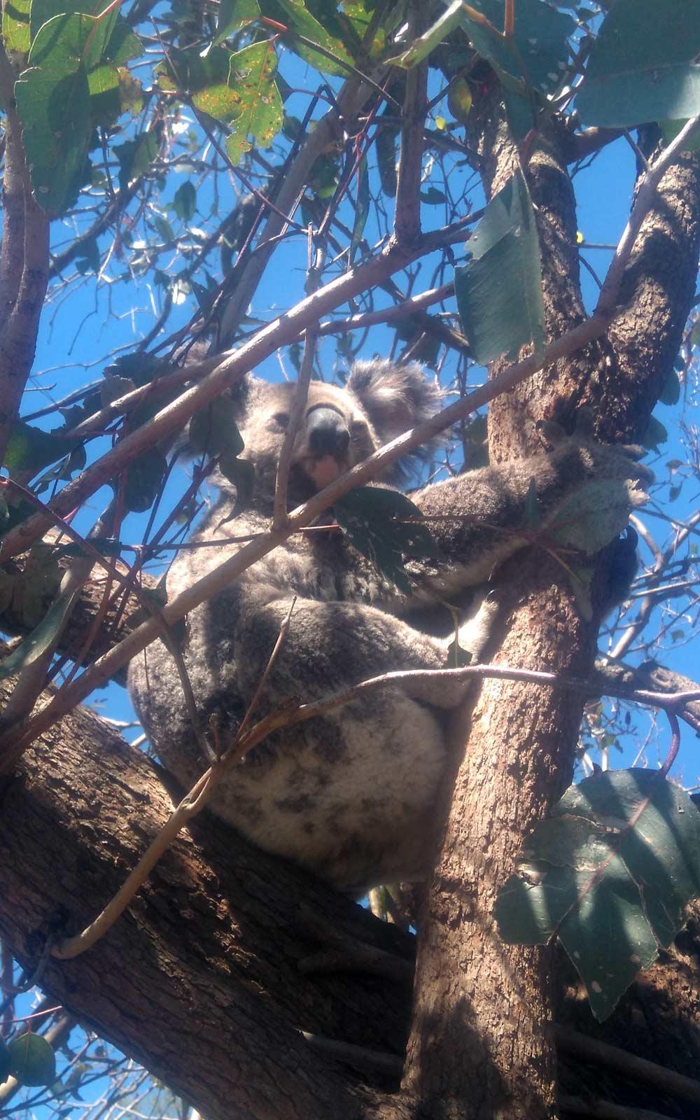 Koala im Baum in Australien