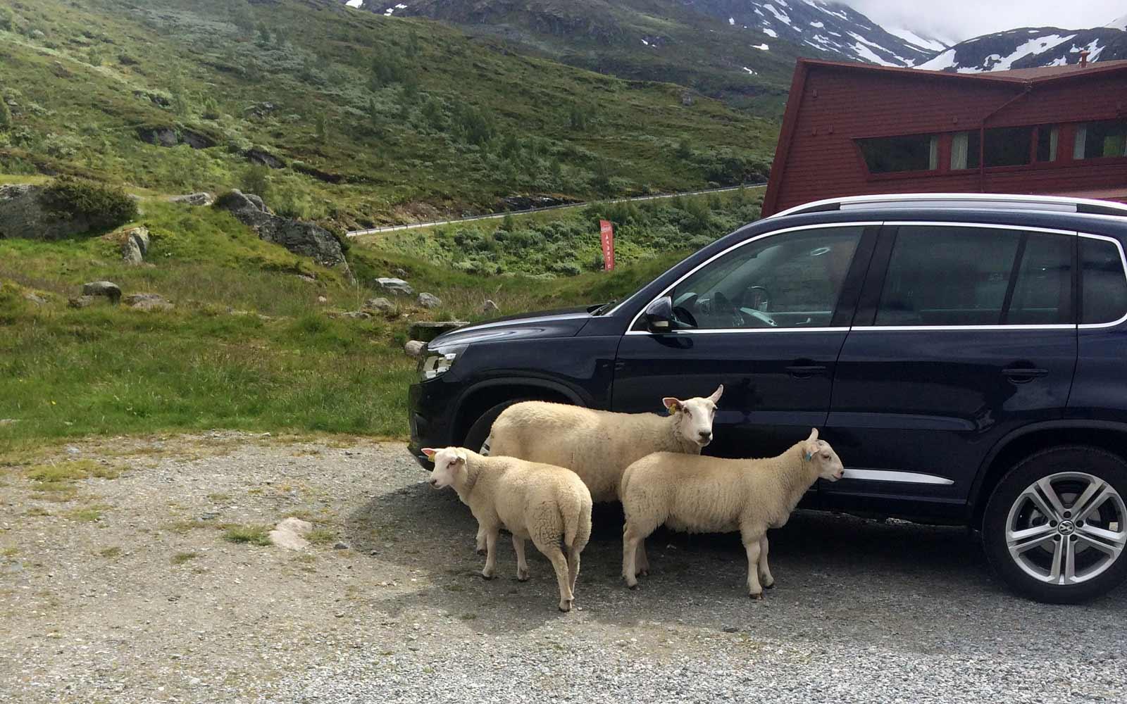 Schafe vom Gelände Vertreiben in Norwegen