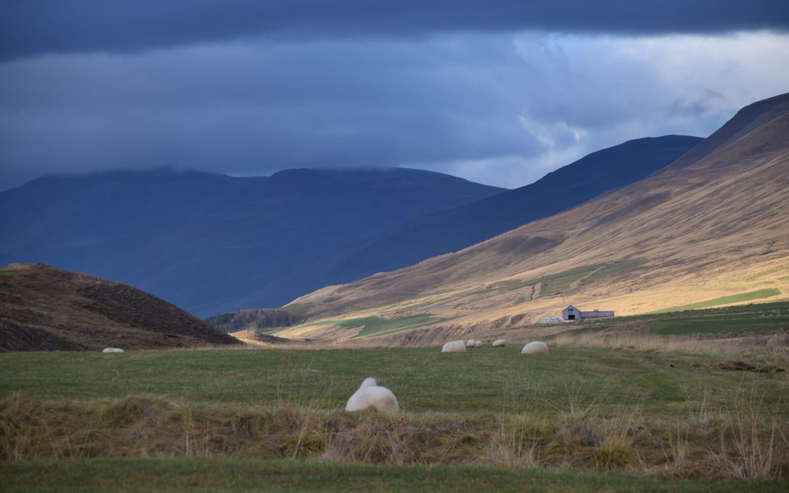 Schafsweide unter dunklen Wolken auf Island