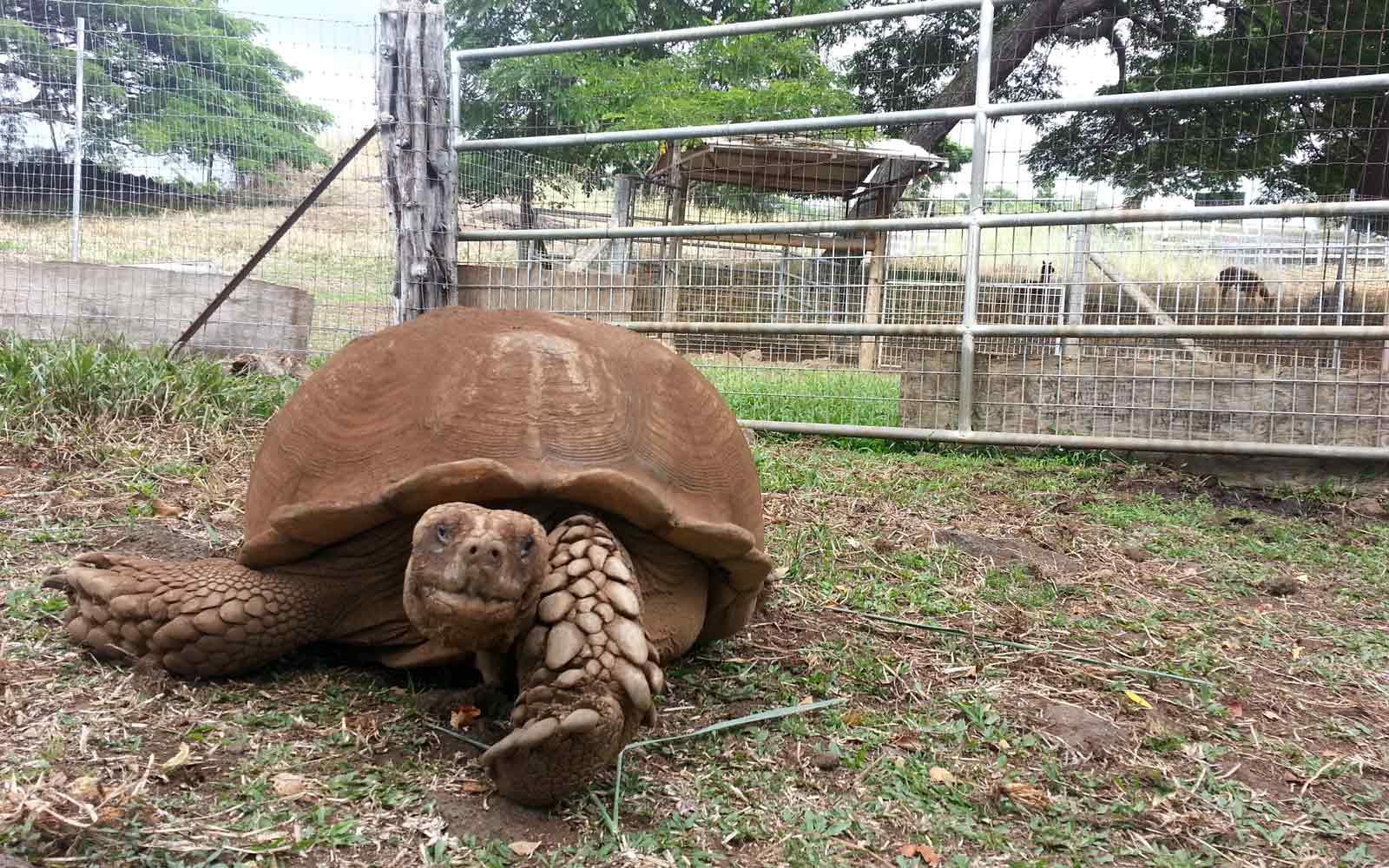 Landschildkröte auf Hawaii