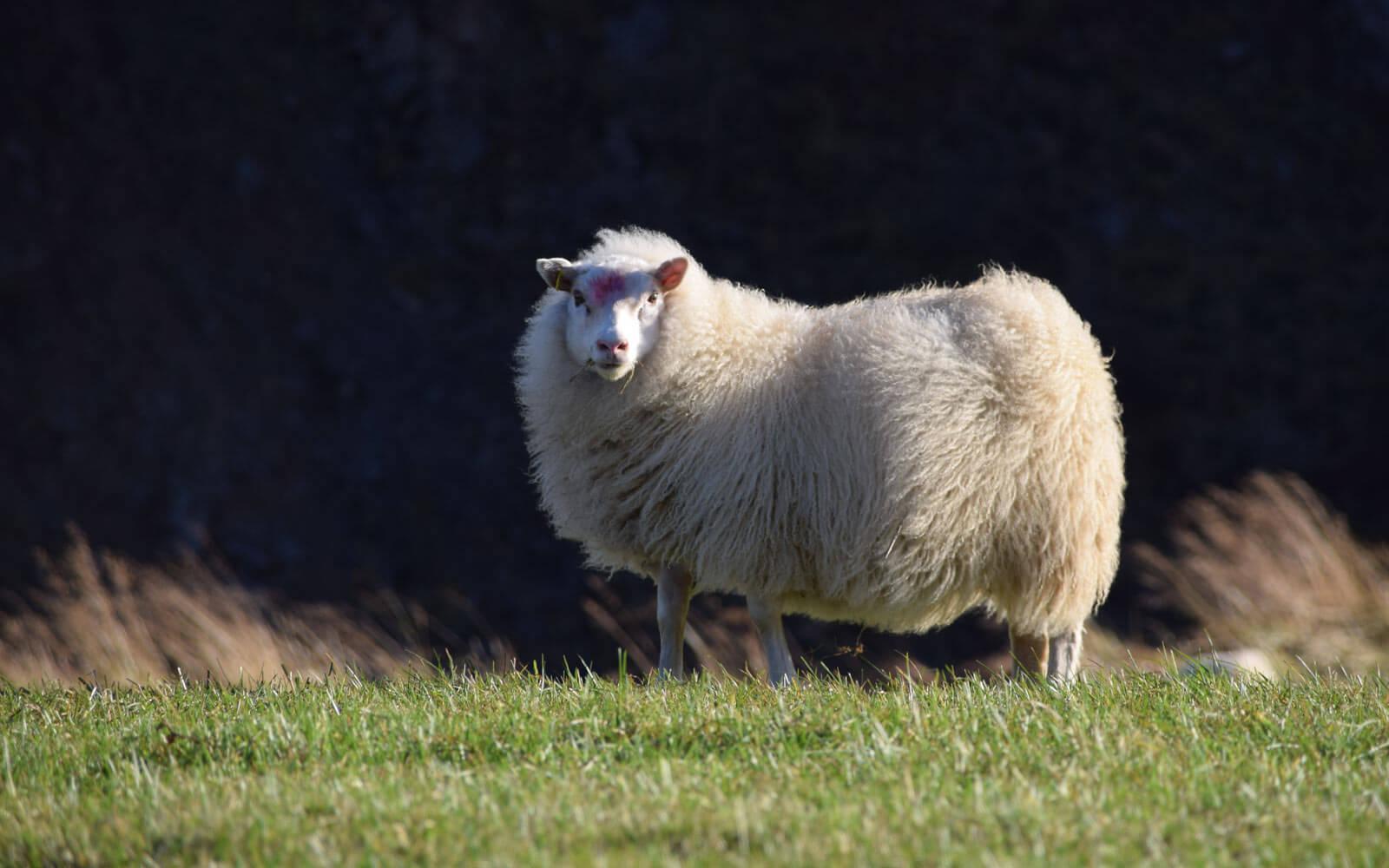 Schaf auf Island