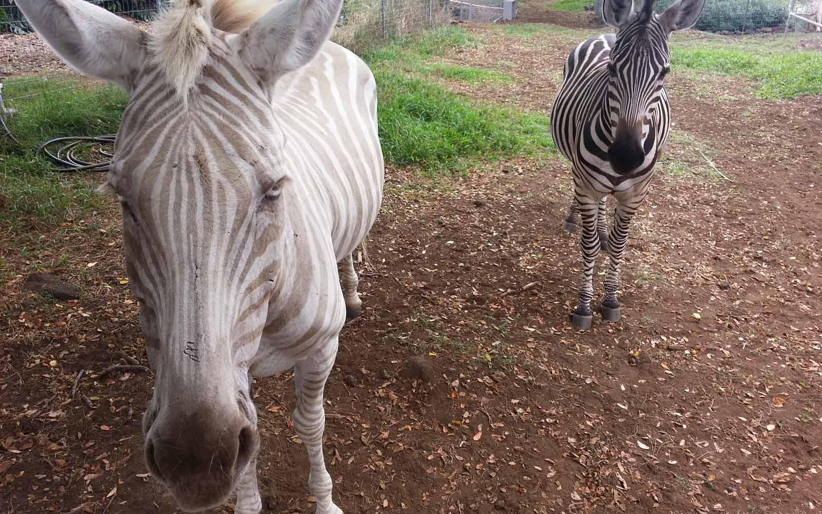 Zebras auf Hawaii