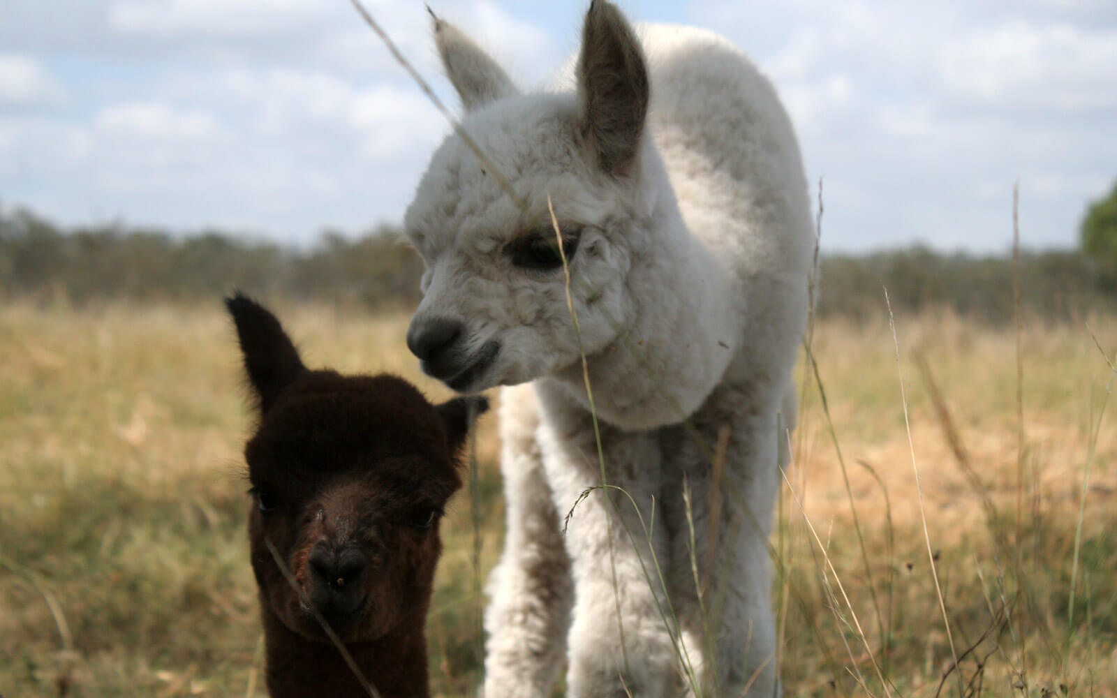 Alpakas in Australien