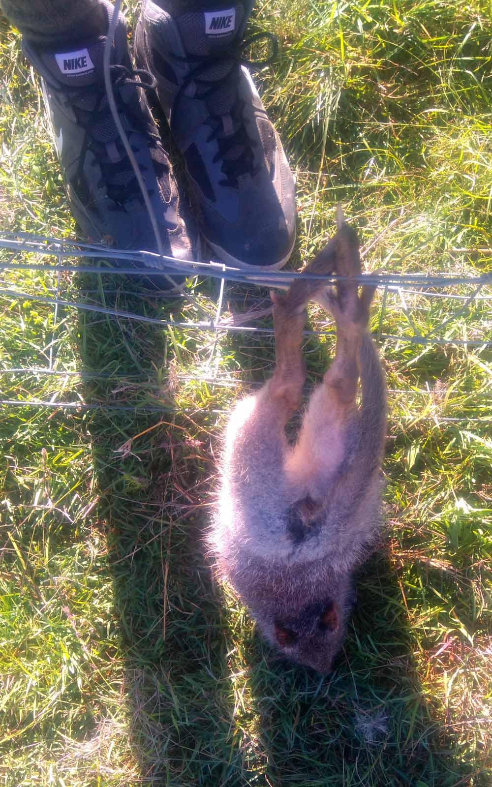 Bürstenkänguru hängt im Zaun fest