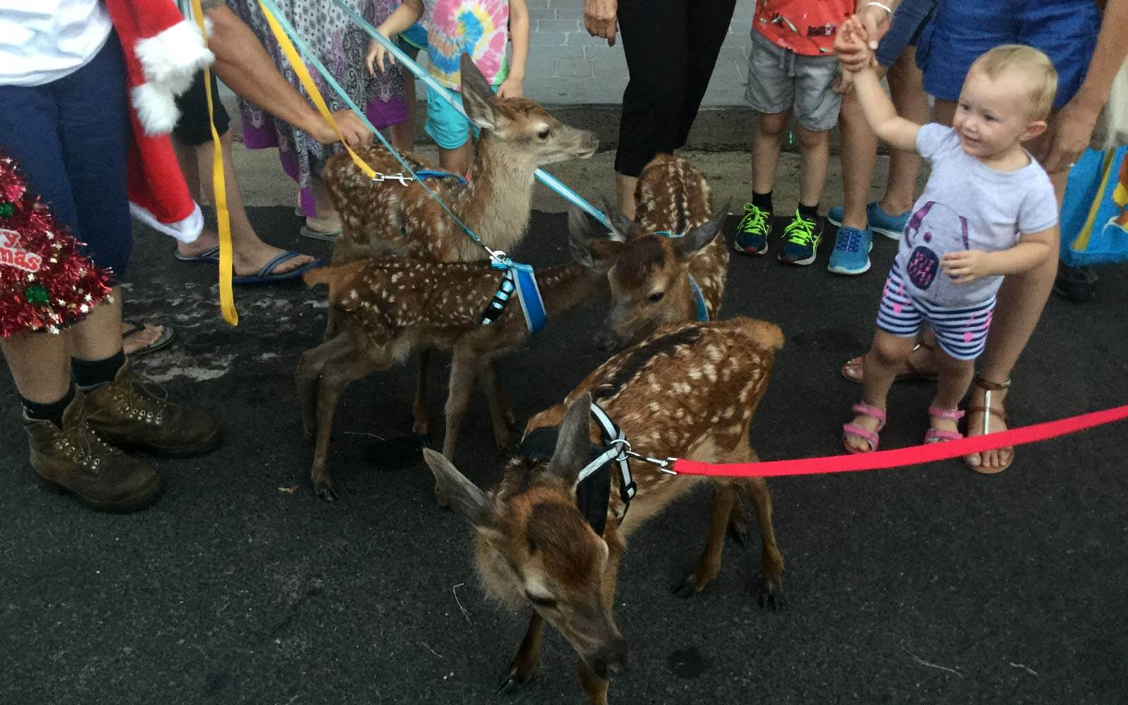 Rehkitze bei der Christmas Parade in Boonah, Australien