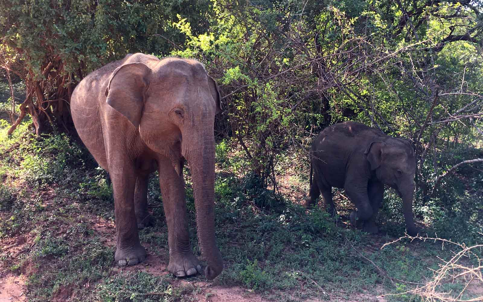 Elefanten im Yala-Nationalpark in Sri Lanka