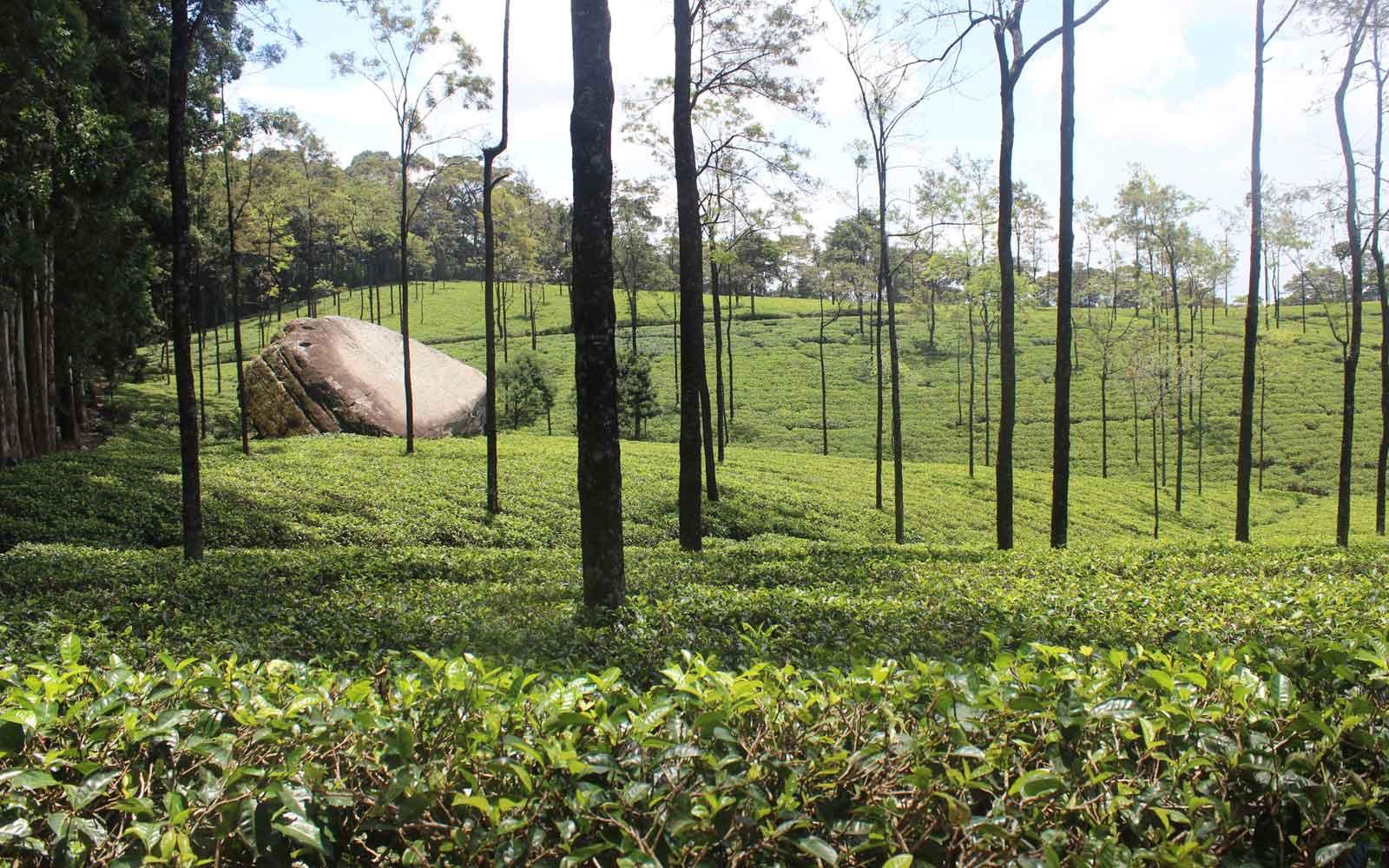 Saftig grüne Teeplantagen-Hügel auf Sri Lanka