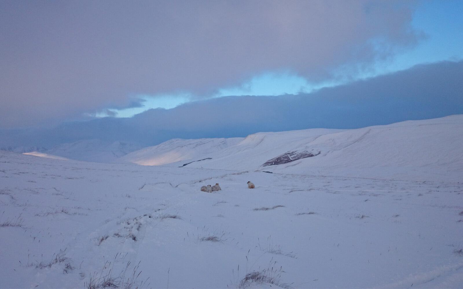 Schafe in einer isländischen Schneelandschaft