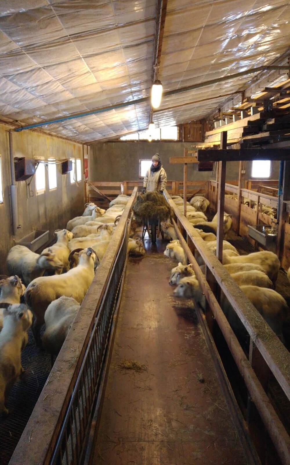 Stina mit Schubkarre voll Heu im Schafstall
