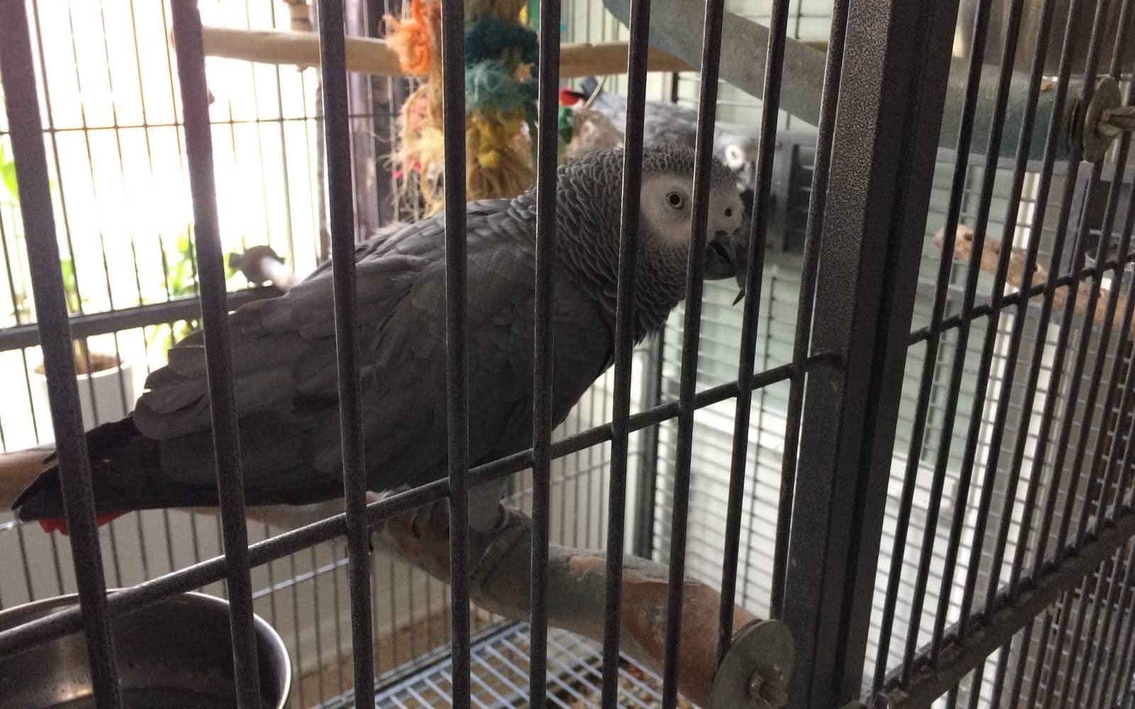 Norwegisch sprechender Papagei
