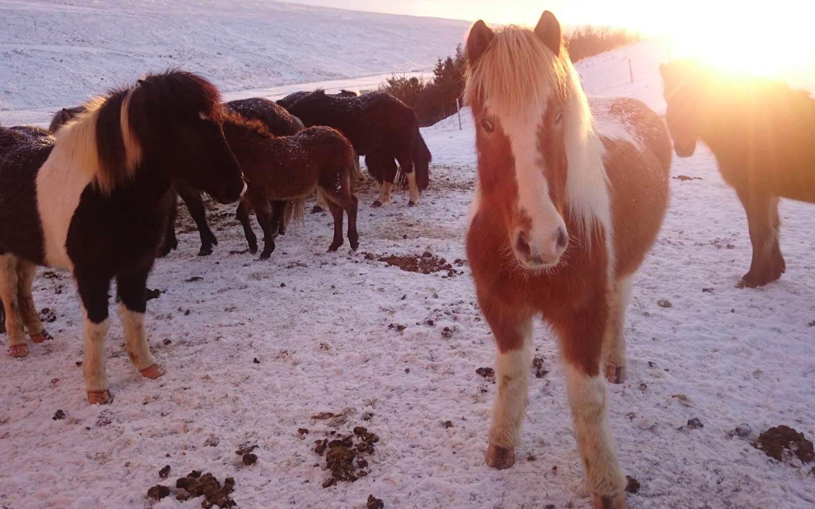 Eine Horde Islandponys auf einem verschneiten Feld