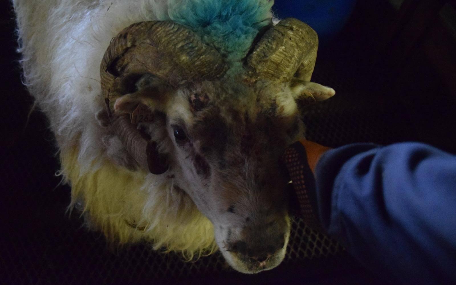 Bock mit blauer Markierung auf dem Kopf