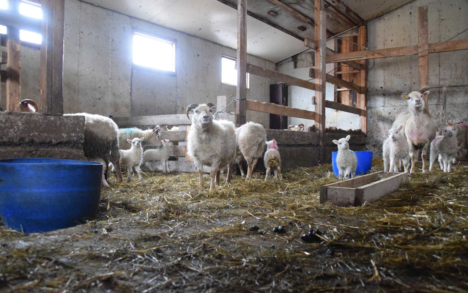 Stall mit Schafen