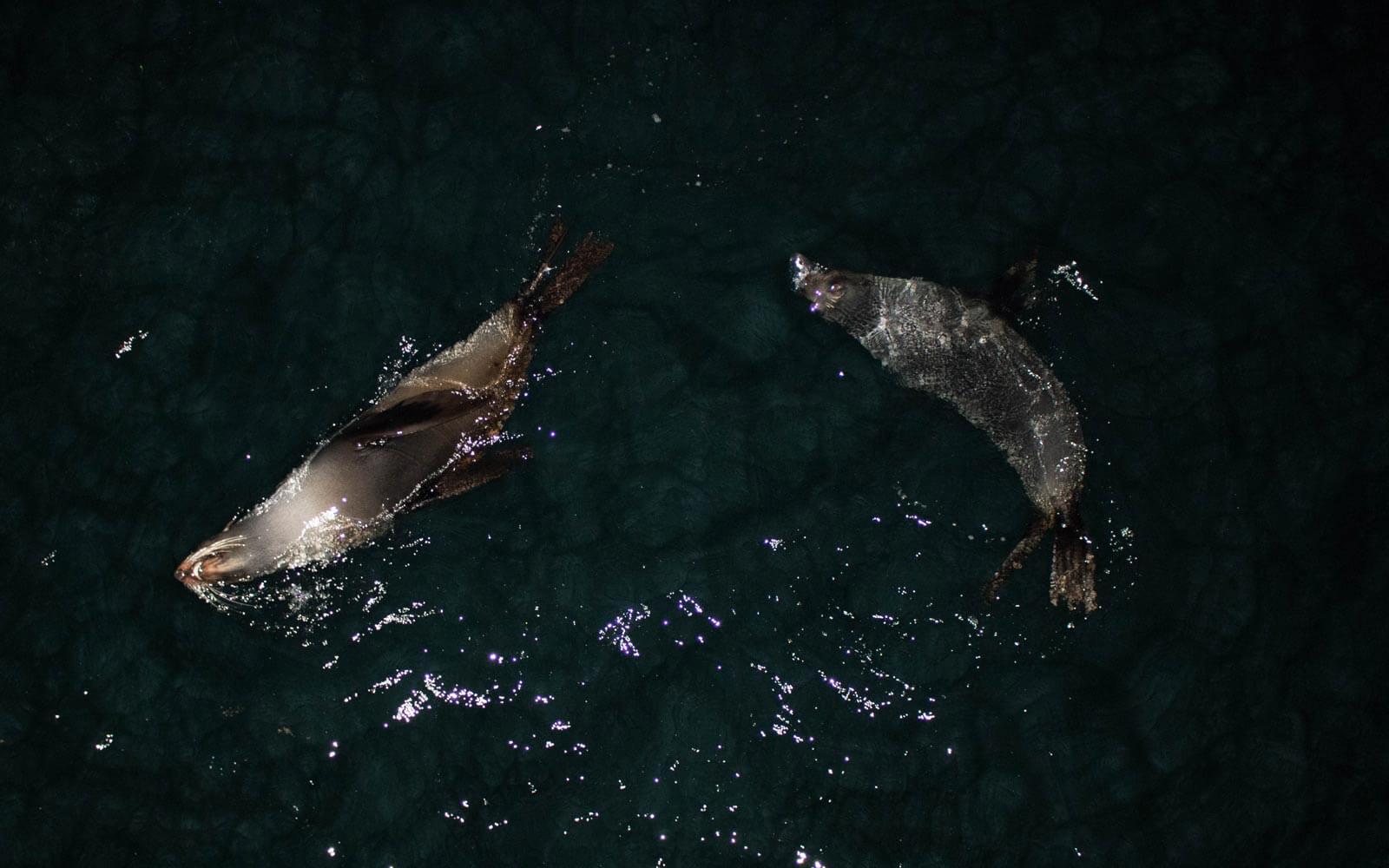 Robben schwimmen nachts im Meer