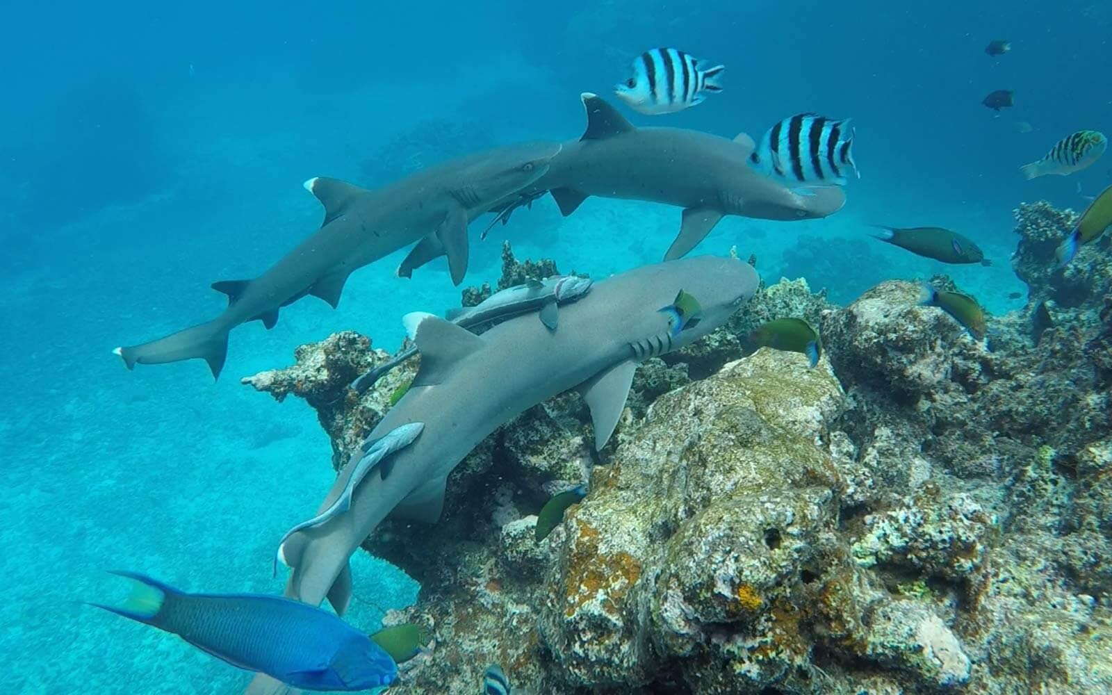 Unterwasser schwimmen mit Haien